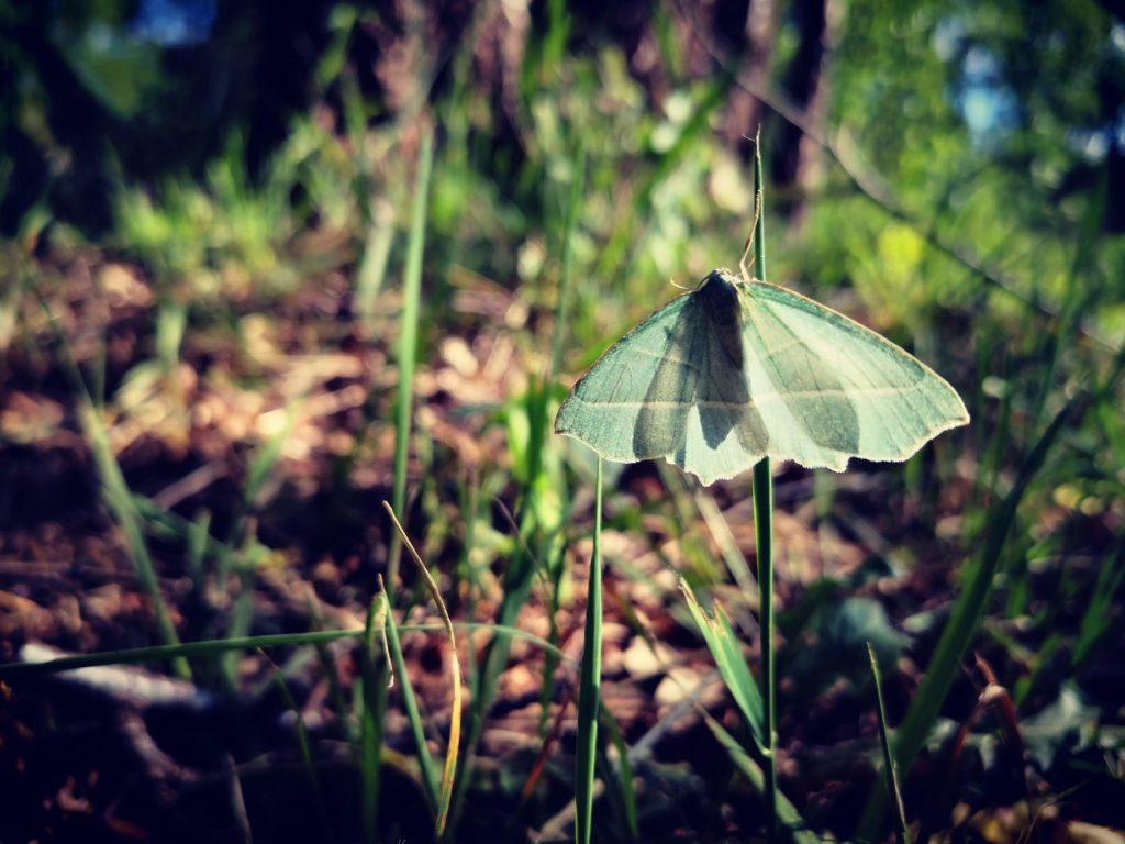 witte vlinder; breekbaarheid